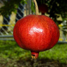 Angel Red Pomegranate Tree