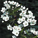 Aristocrat Flowering Pear Tree