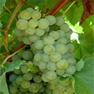 Blanc du Bois Grape Vine