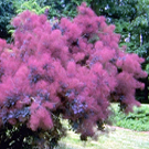 Purple Smoke Tree