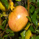 Utah Sweet Pomegranate Tree
