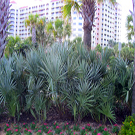 Silver Saw Palmetto Tree