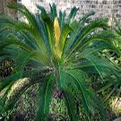 sago palm planting instructions