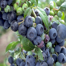 Bluecrop Northern Highbush Blueberry Plant