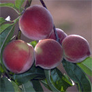 Babcock Peach Tree