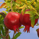 Sweet Pomegranate Tree