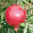 Wonderful Pomegranate Tree